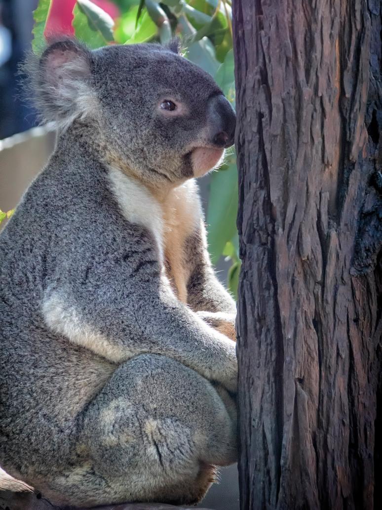 Koala and tree